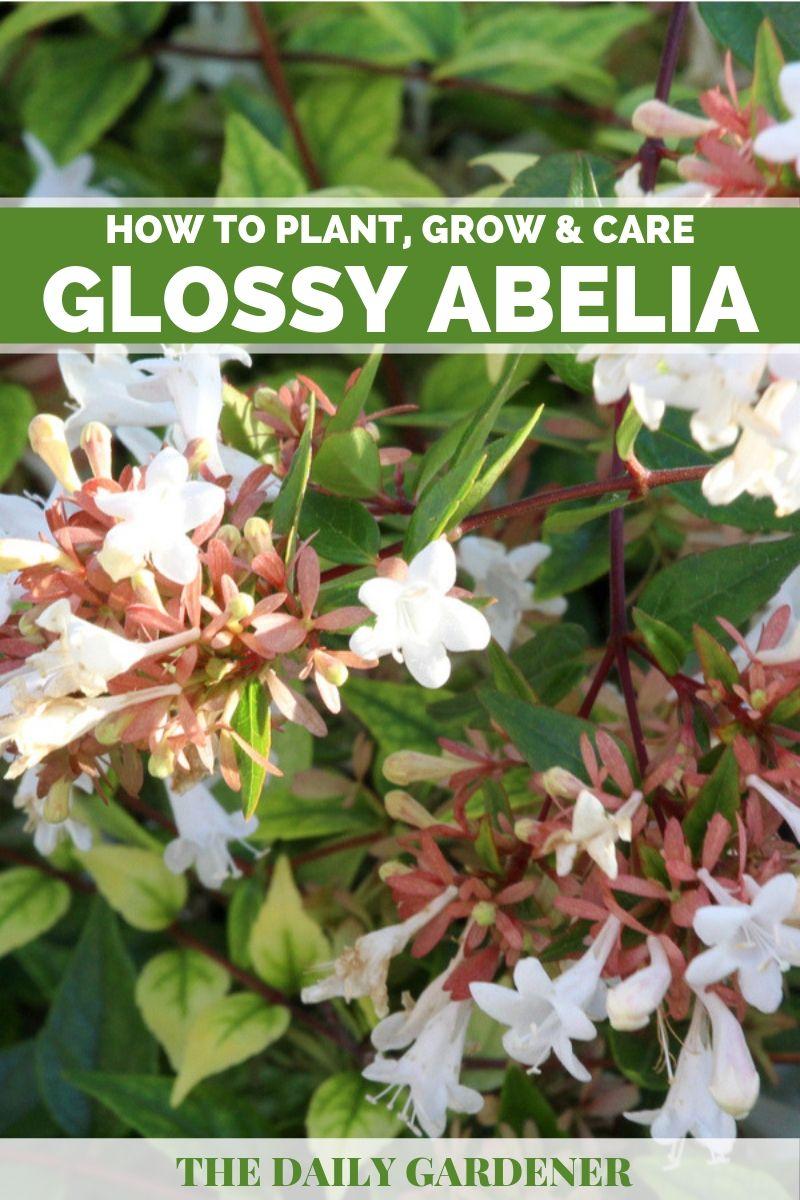 Glossy Abelia 1