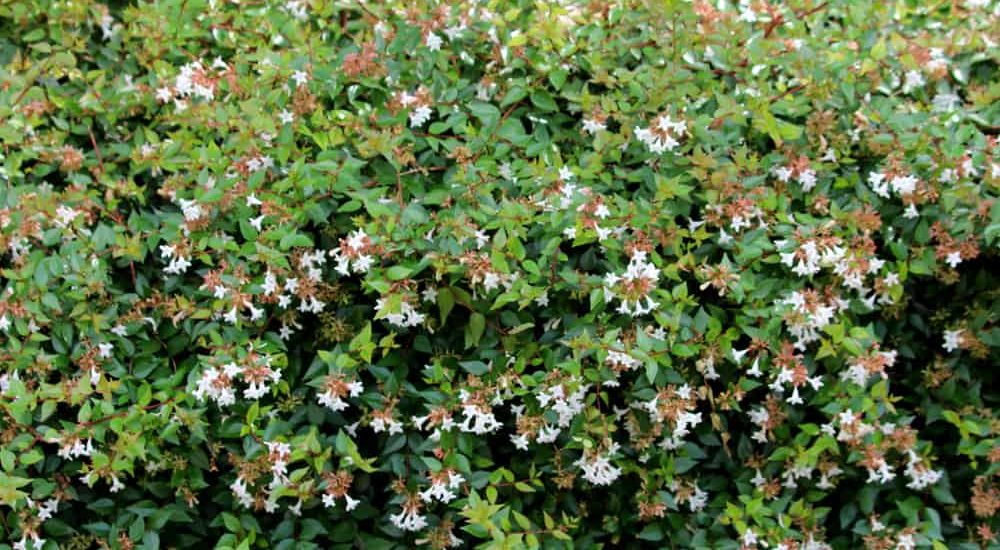 Glossy Abelia How to Plant and Grow in Your Garden