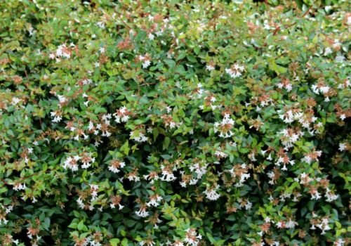 Glossy Abelia: How to Plant and Grow in Your Garden