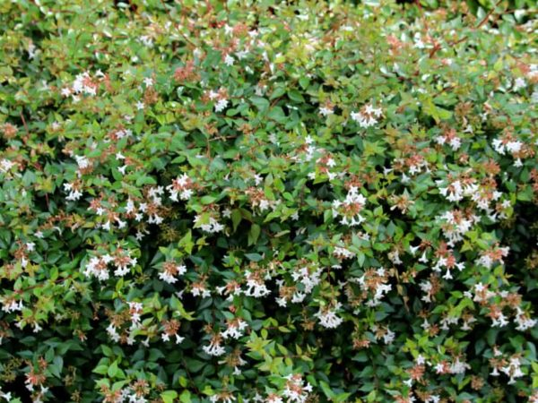 How to Plant Glossy Abelia in Your Garden (Tricks to Care!)
