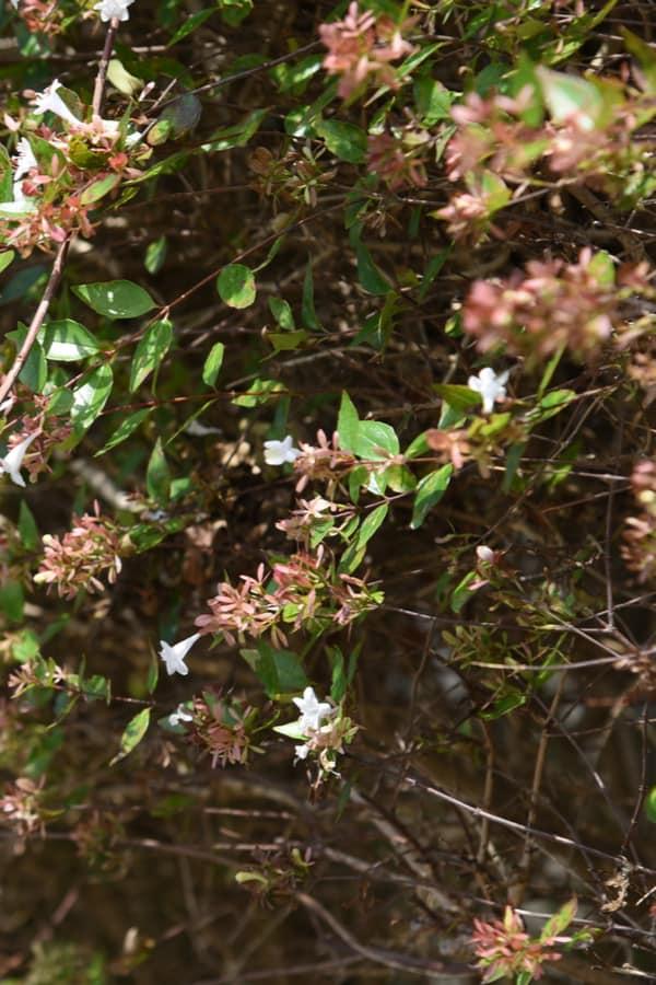Glossy Abelia Pruning and deadheading