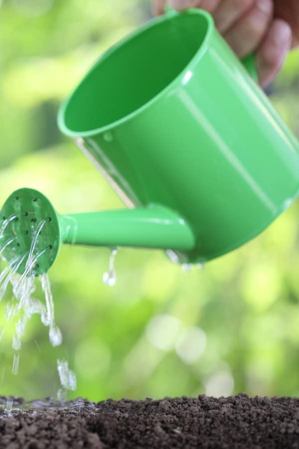 Glossy Abelia Watering