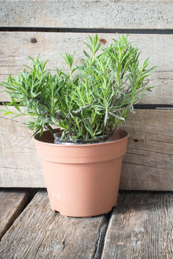 Growing Lavender in a pot