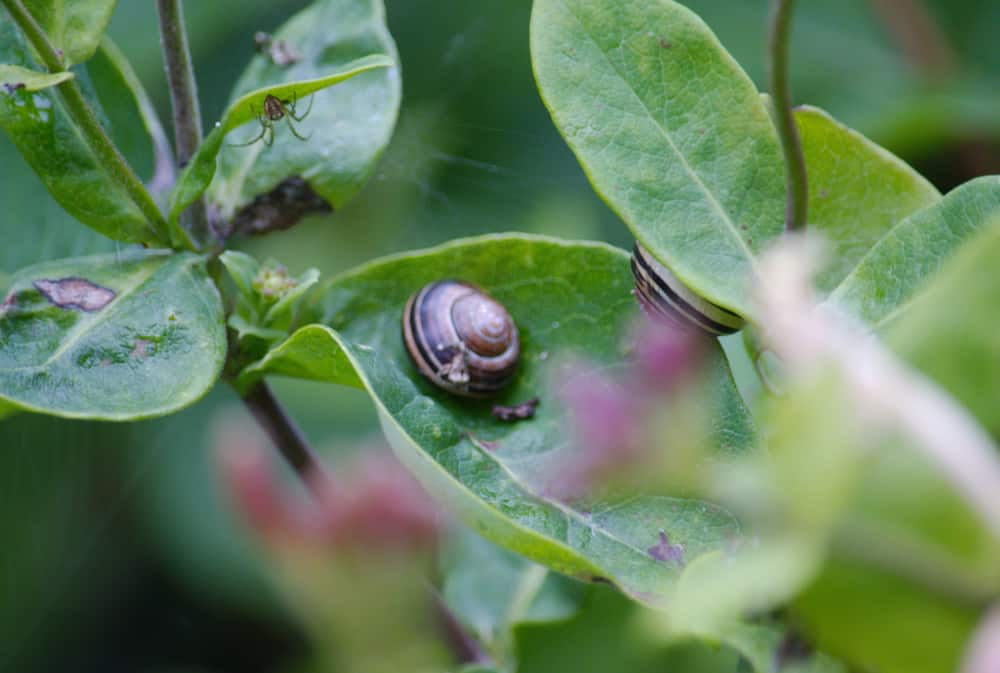 Honeysuckle Pests And Diseases