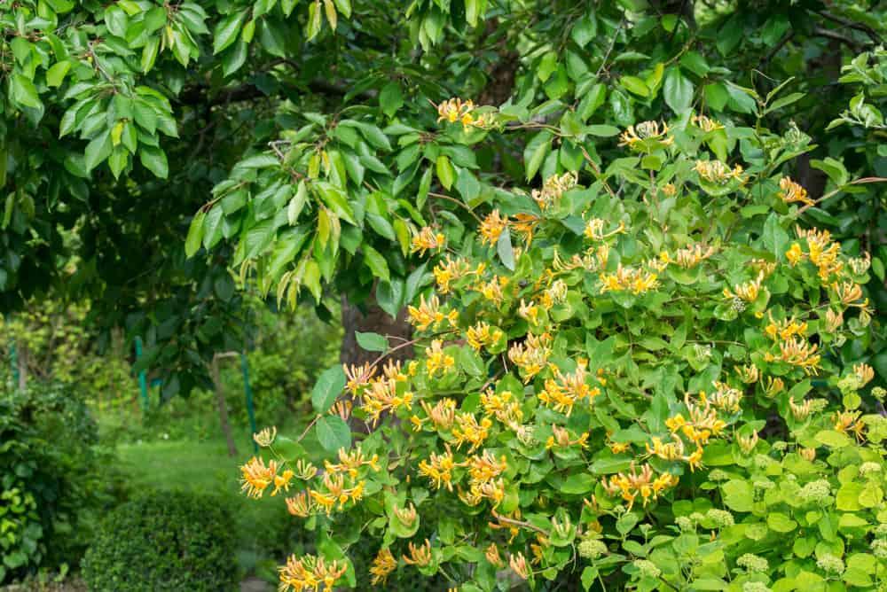 Honeysuckle Planting in the garden