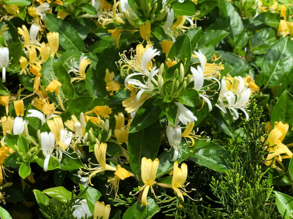 Honeysuckle vines