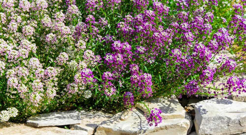 How to Grow & Care Sweet Alyssum in Your Garden