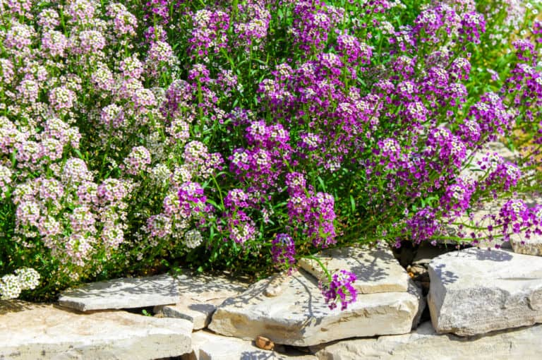 How to Grow & Care Sweet Alyssum in Your Garden