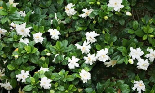 How to Grow and Care Gardenia Flower