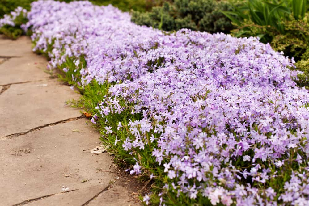 How to Plant Creeping Phlox