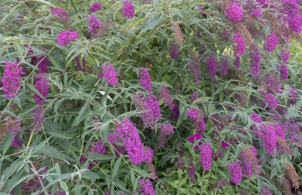 How to Plant, Grow and Care Butterfly Bush