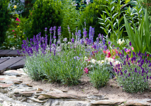 How to Plant, Grow, and Care Lavender?