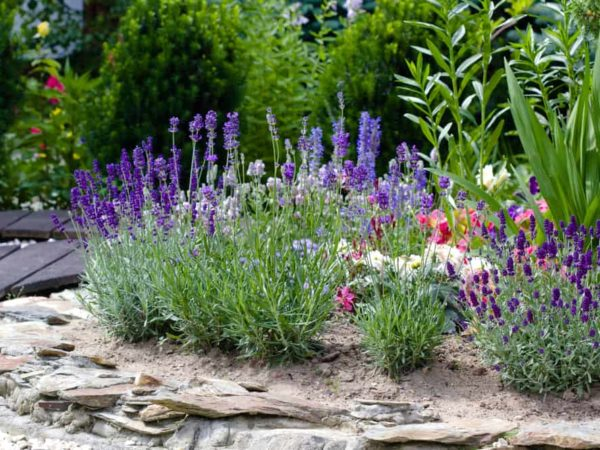 How to Plant Lavender in Your Garden (Tricks to Care)