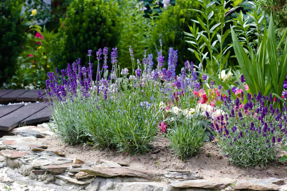 How To Plant Grow And Care Lavender The Daily Gardener