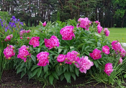 How to Plant, Grow, and Care Peony