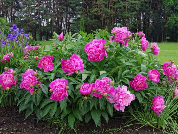How to Plant Peony in Your Garden (Tricks to Care)