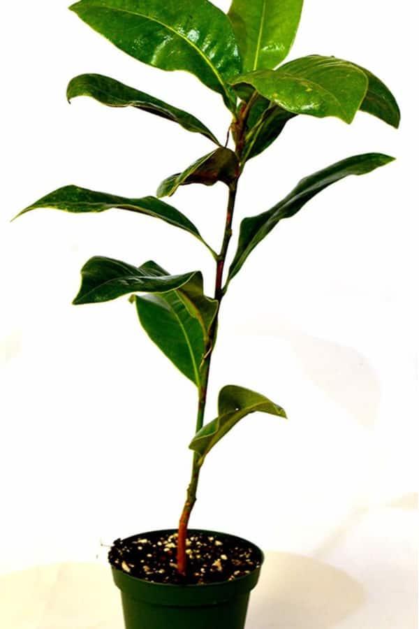 How to plant Magnolia