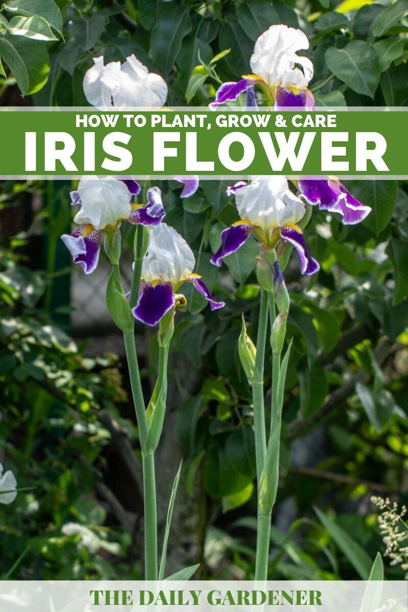 Iris Flower 1