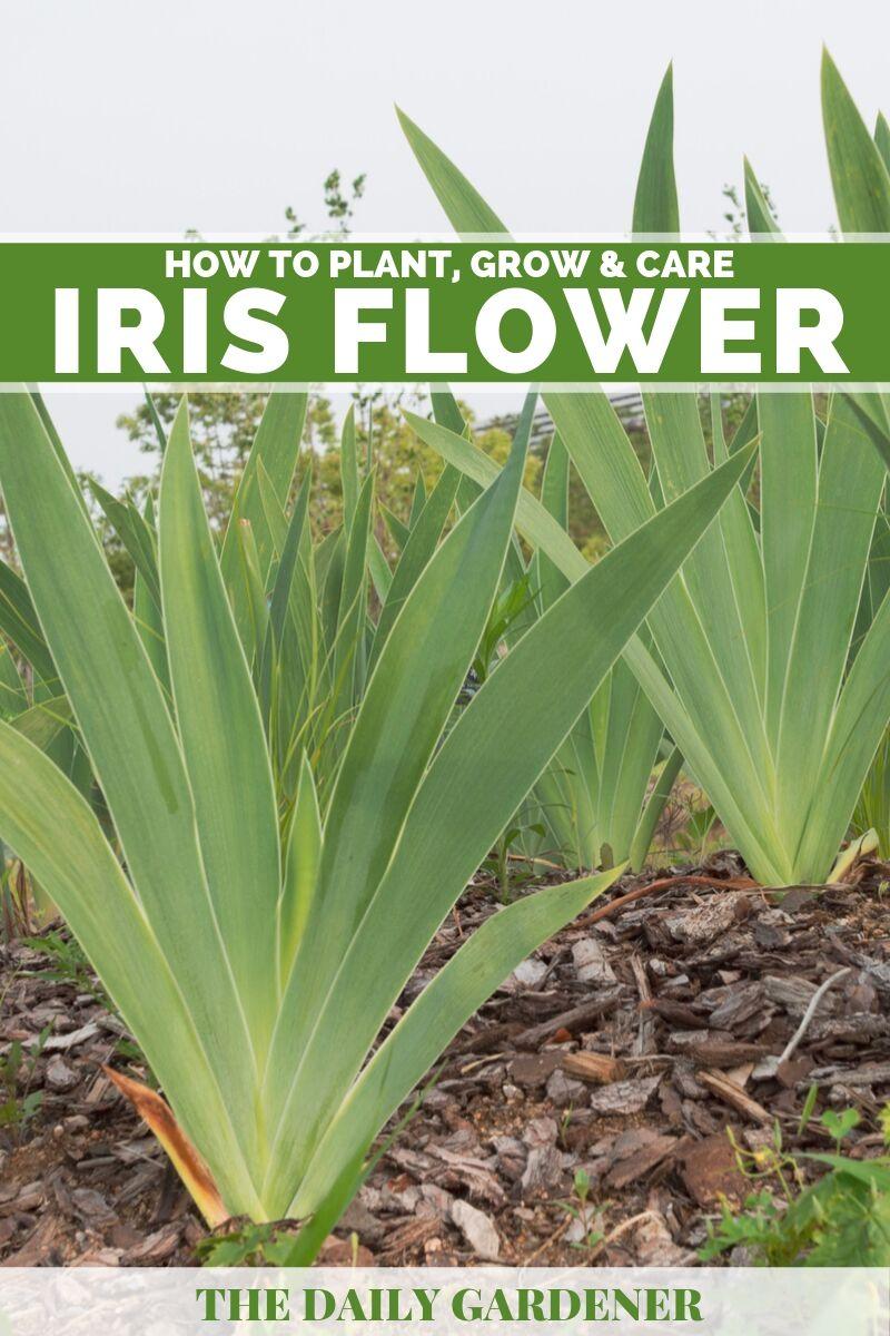 Iris Flower 2