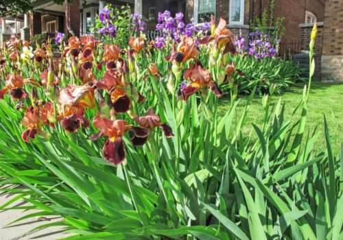 Iris Flower: How to Plant, Grow and Care?