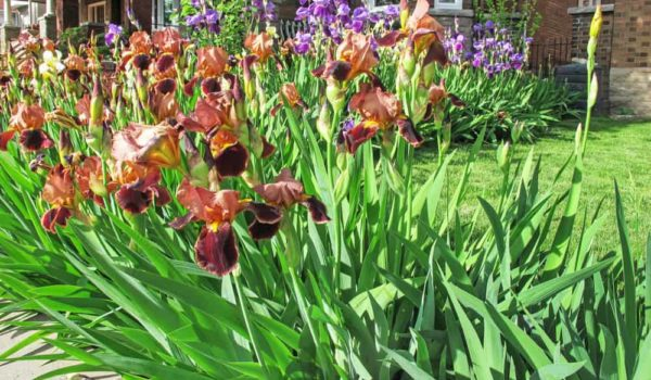 Iris Flower How to Plant, Grow and Care