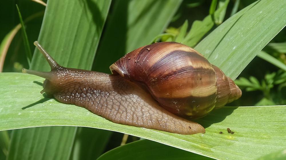 Iris Slugs and snails