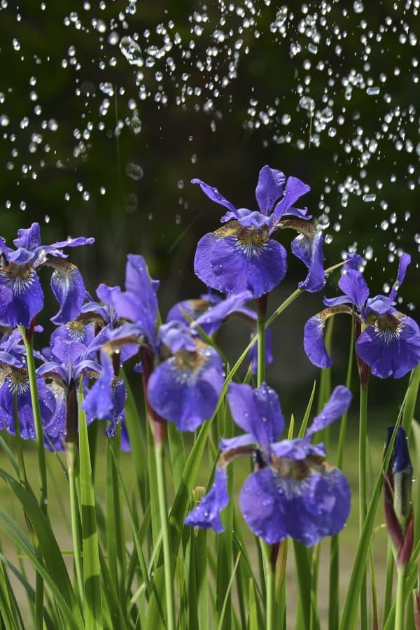 Iris Watering