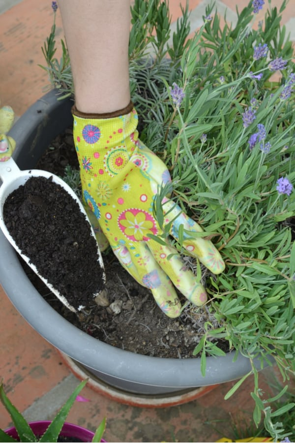 Lavender Fertilizing