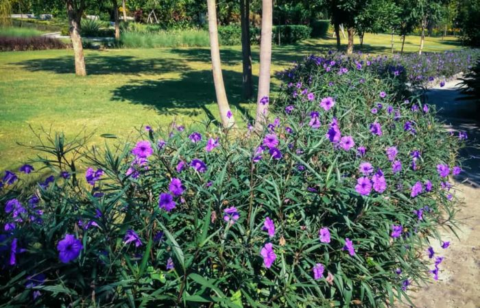 Mexican Petunia: How to Plant, Grow and Care?