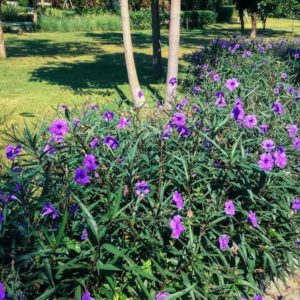Mexican Petunia How to Plant, Grow and Care