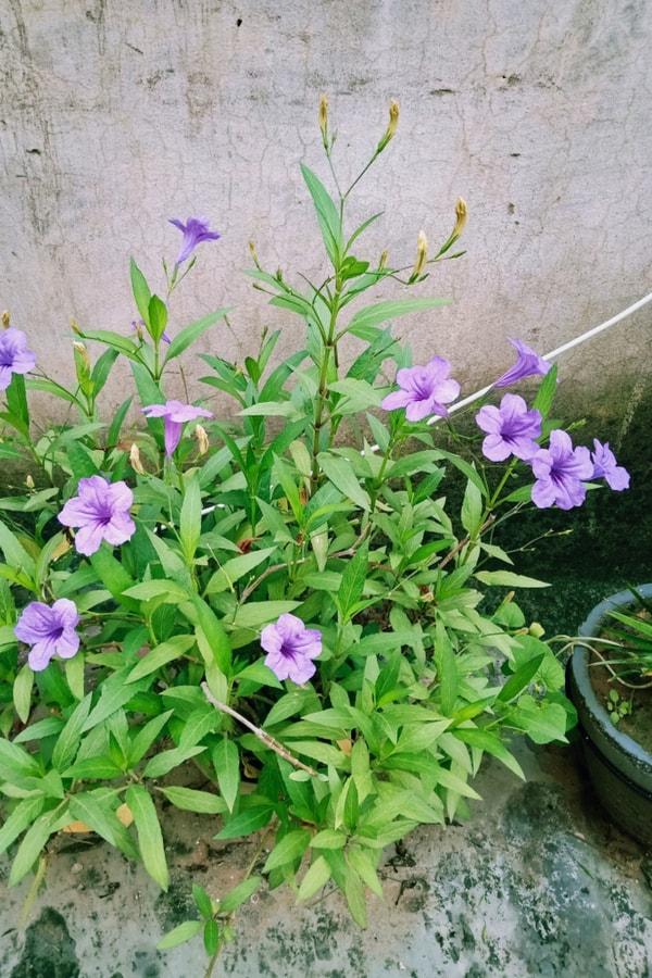 Mexican Petunia Low temperatures