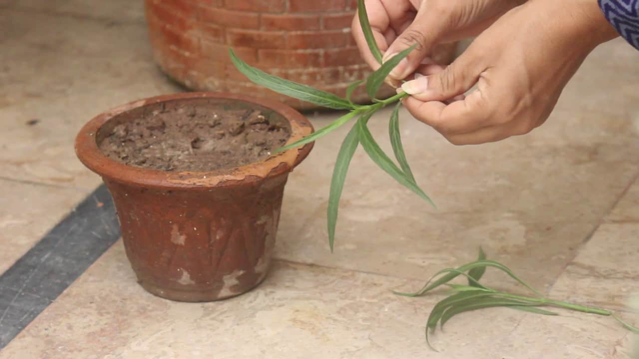 Mexican Petunia Propagating by cuttings