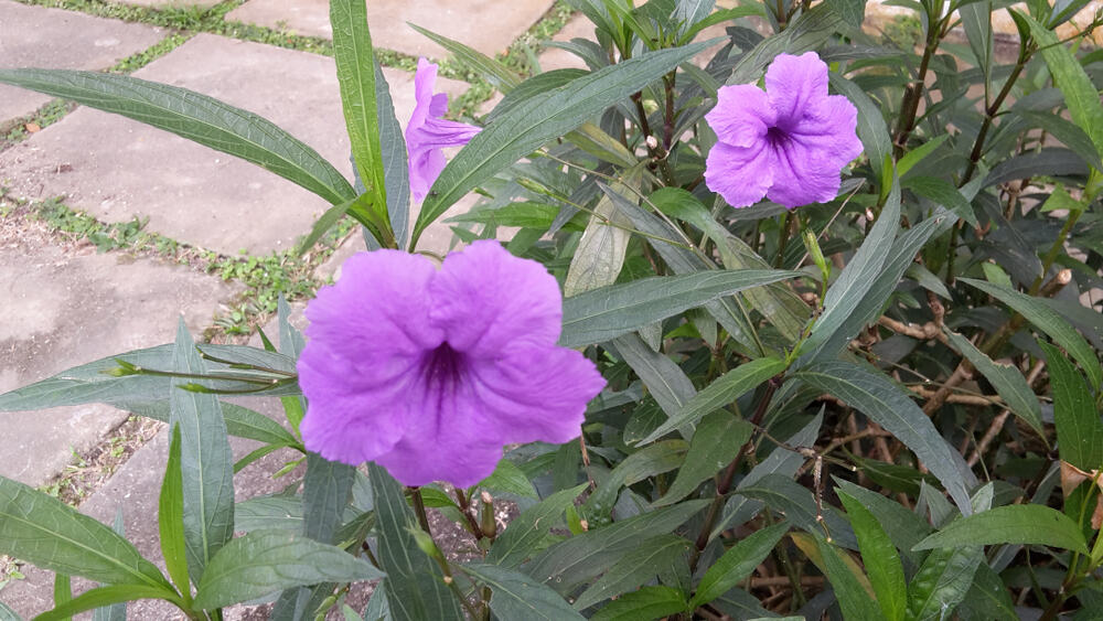 Mexican Petunia Propagating by rhizomes