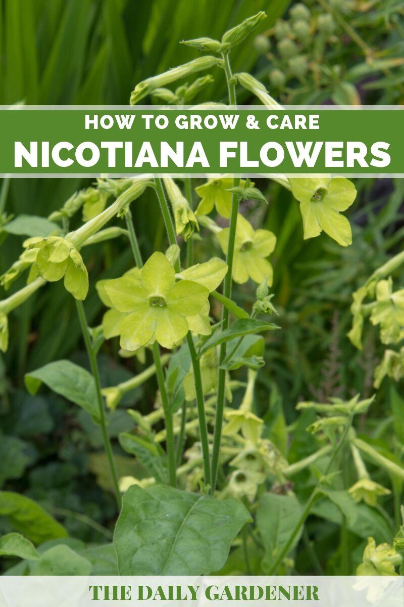 Nicotiana 1