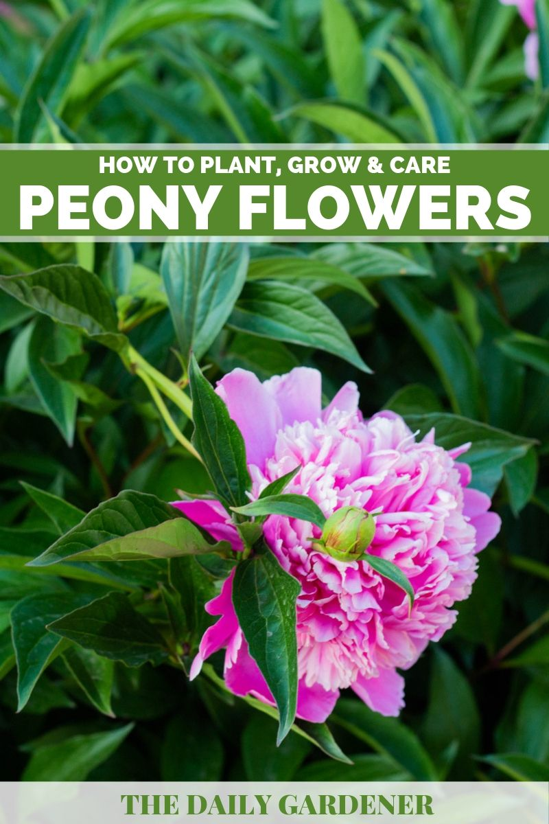 How To Plant Grow And Care Peony The Daily Gardener