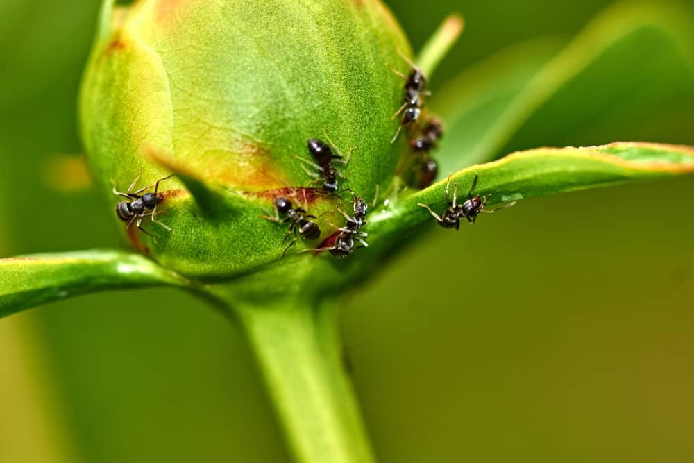 Peony Ants
