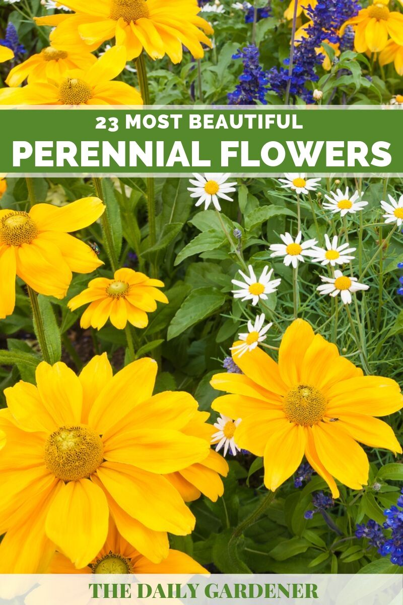 Perennial Flowers 2