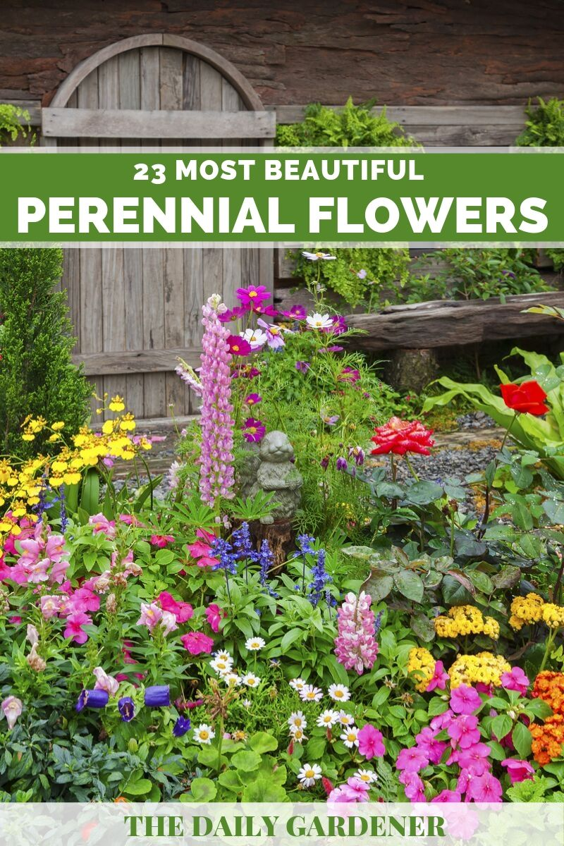 23 Most Beautiful Perennial Flowers For Your Garden The Daily