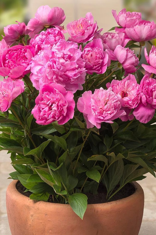 Plant Peony in a container