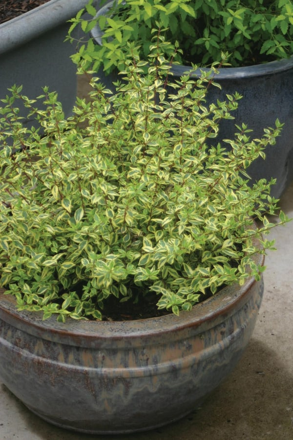 Planting Abelia in a container