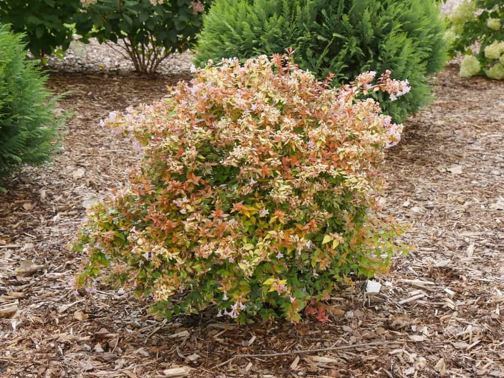 Planting Abelia in the garden