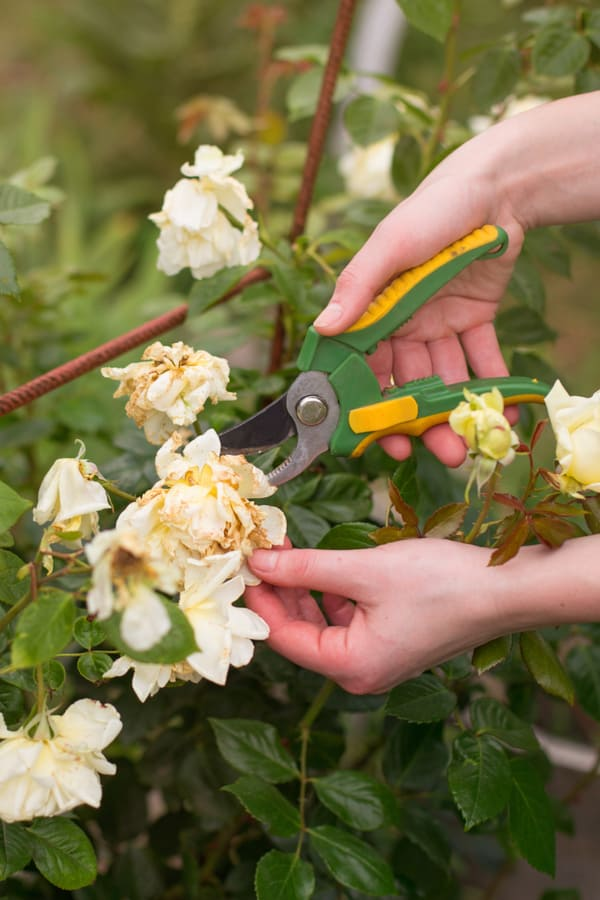 Pruning flowering shrubs