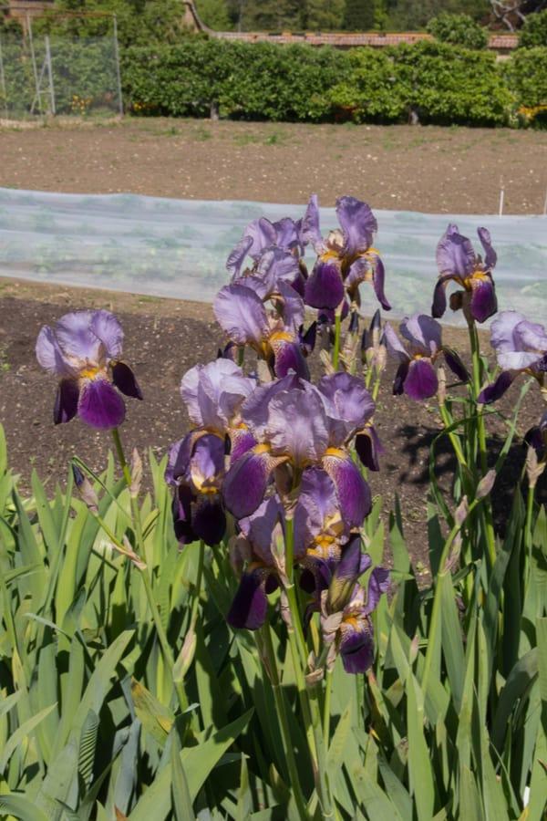 Rhizomatous Iris 1