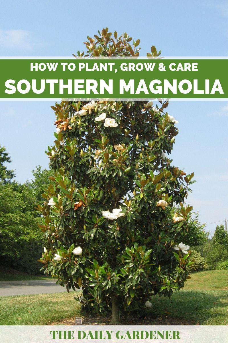 Southern Magnolia 1