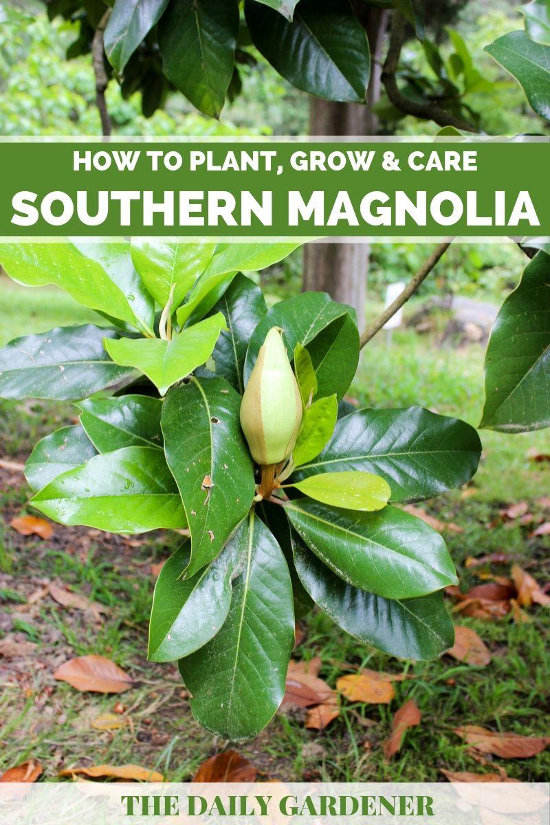 Southern Magnolia 2
