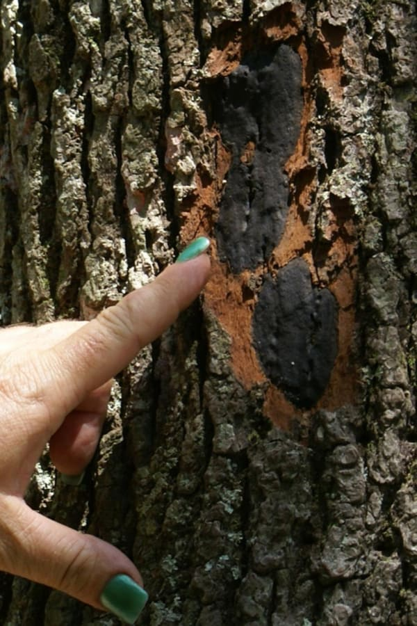 Southern Magnolia Canker