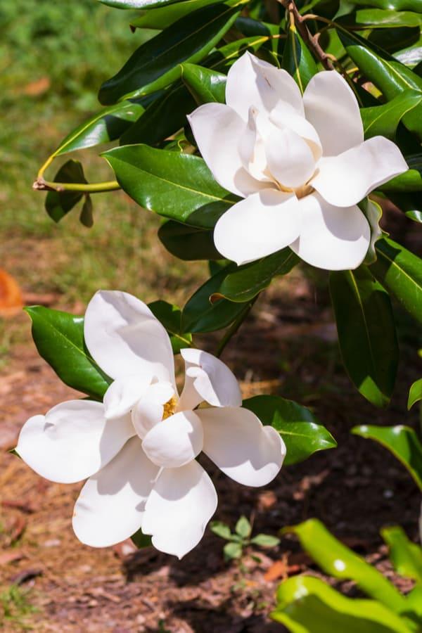 Southern Magnolia Light