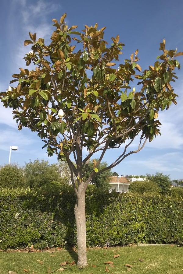 Southern Magnolia Temperatures