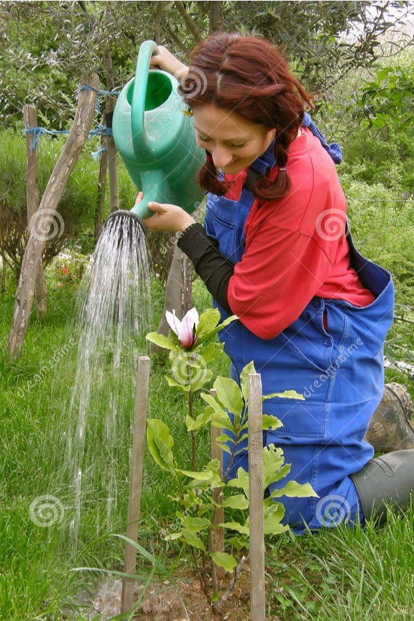 Southern Magnolia Watering