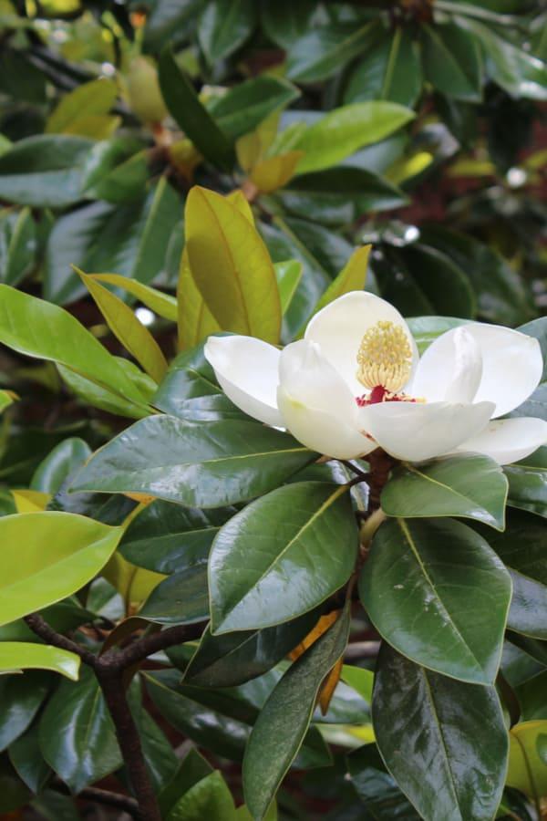 Southern magnolia (Magnolia grandiflora)